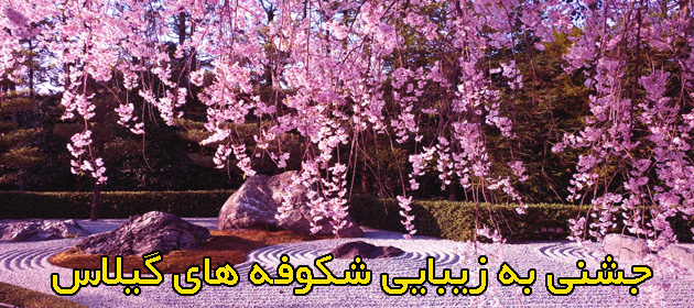 Cherry-Blossom-ثقصWallpapers-303738