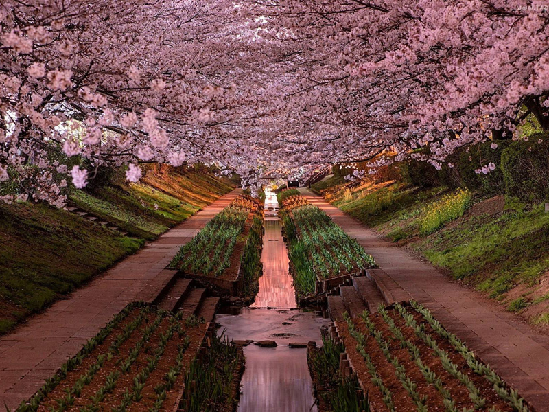 Gorgeous-Cherry-Blossoms-in-Yokohama-Japan