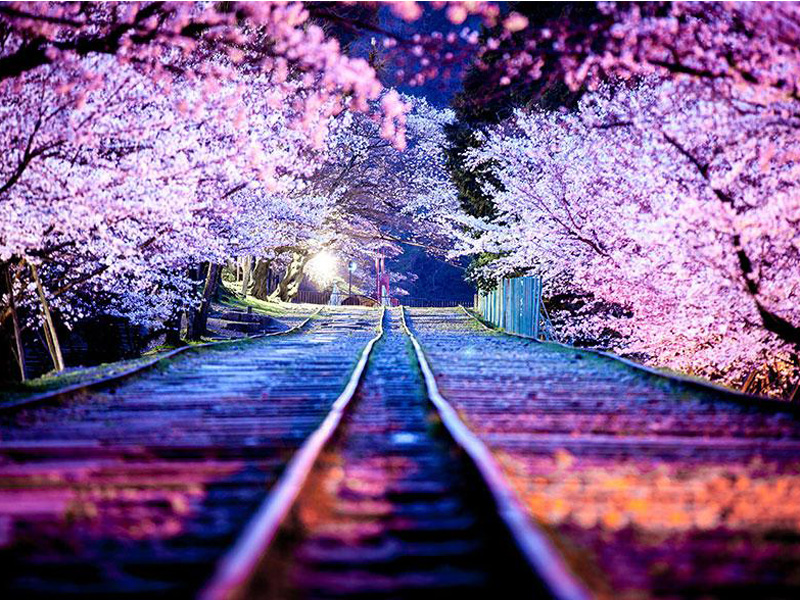 cherry-blossom-season-2014-3