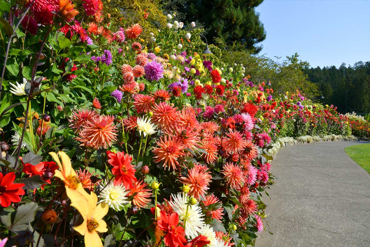 autumn-full-dahlias