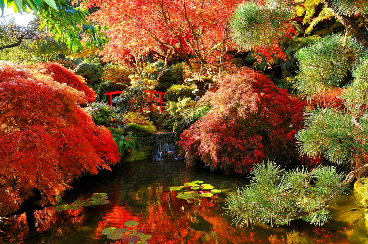 autumn-full-japanese-maples