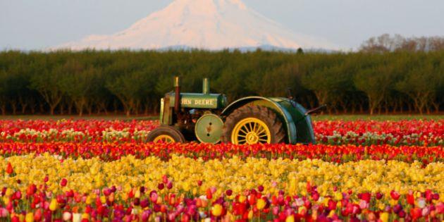 tulip-660x330