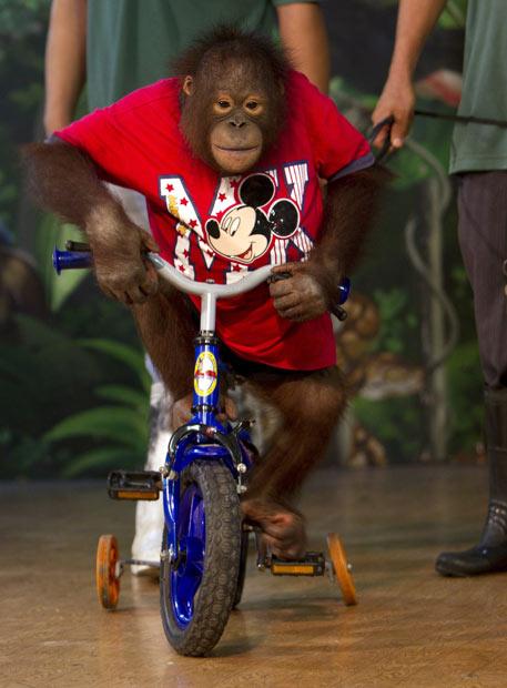 orangutan-bike_1708176i
