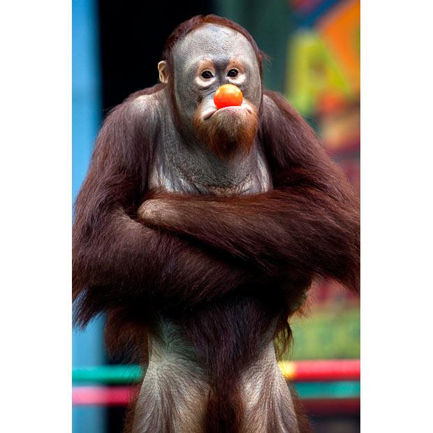 orangutan_1612685i