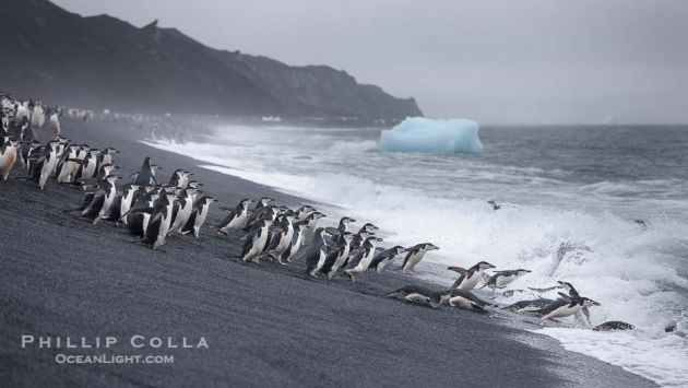 chinstrap-penguins-deception-island-antarctica-photograph-25455-299923
