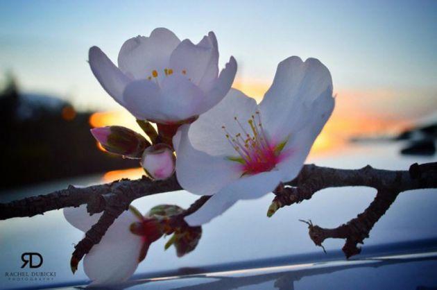 Almond-blossom-685x455