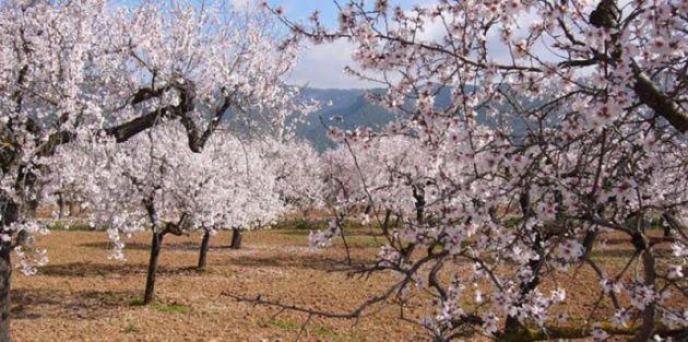 almond-blossom2-640x318