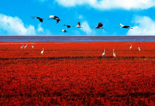 Red-Beach-Panjin-China-Birds