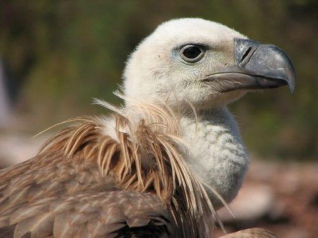 beloglavi-sup-uvac-griffin-vulture-uvac-reserve-serbia