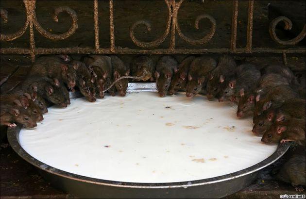 Karni-Mata-rats-everywhere