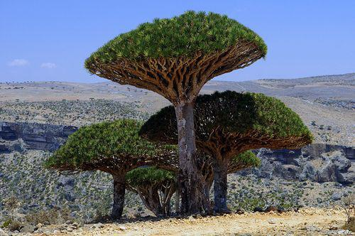 Socotra-Dragon-Tree-Or-Dragon-Blood-Tree-In-Socotra-Islands--Yemen