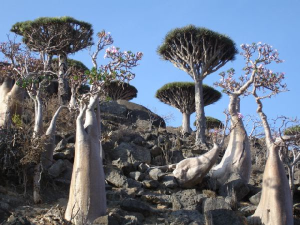 Yemen Socotra Island trees -780520