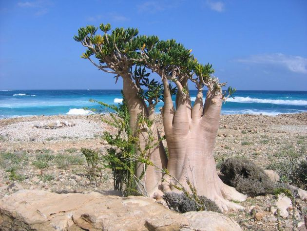 bottle-tree-socotra-1