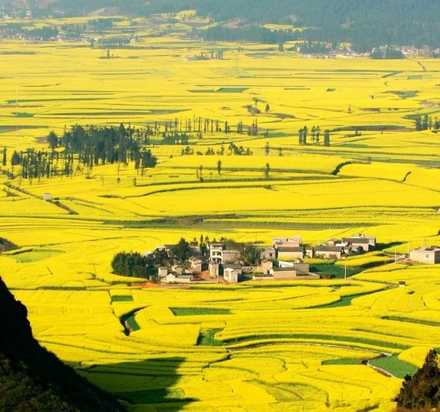 flowers-Luoping-Yunnan-4