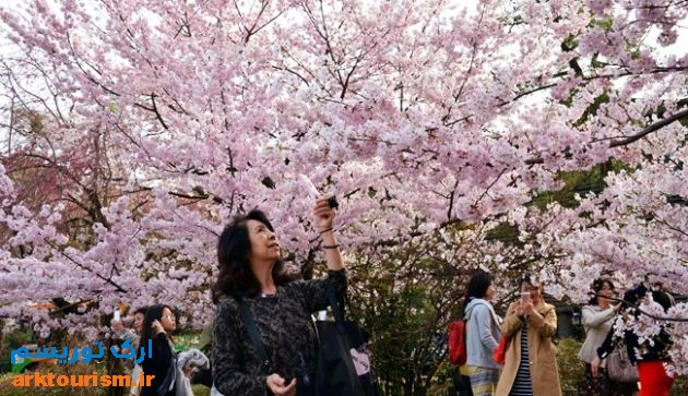 شکوفه های گیلاس در ژاپن