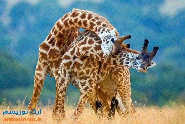 زرافه کنیا2
