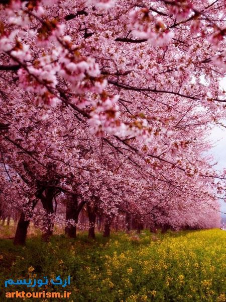 شکوفه های ژاپن