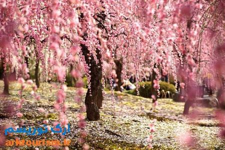 شکوفه های ژاپن2