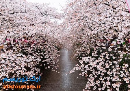شکوفه ژاپن
