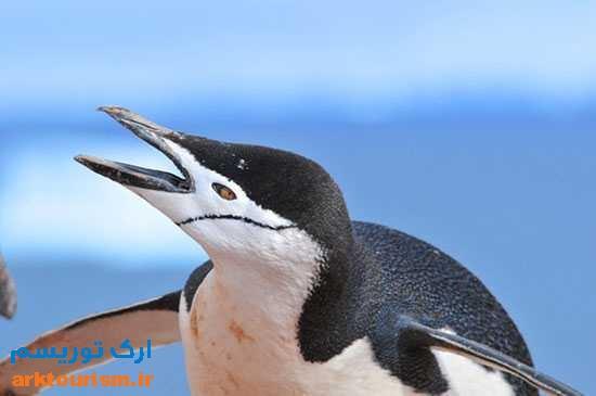 عکس-هایی-از-پنگوئن-های-ریش-خطی-
