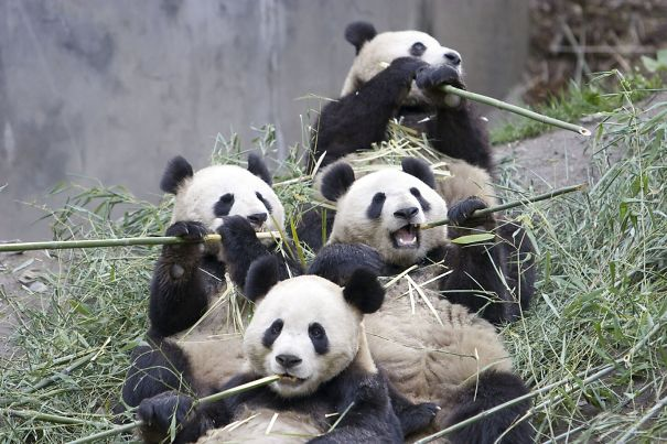 giant panda group eating bamboo
