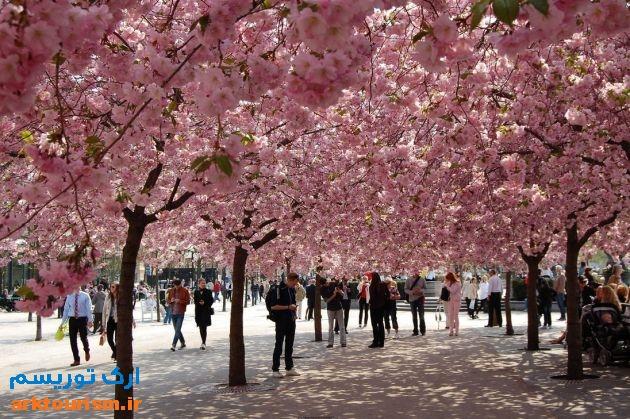 cherry_blossom_in استکهلم
