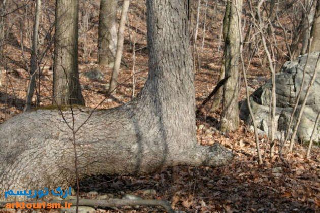 درختان خمیده آمریکا (3)