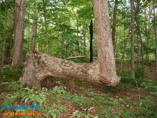 درختان خمیده (10)