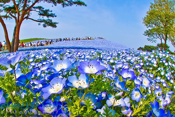 nemophilas-field-hitachi-seaside-park-6