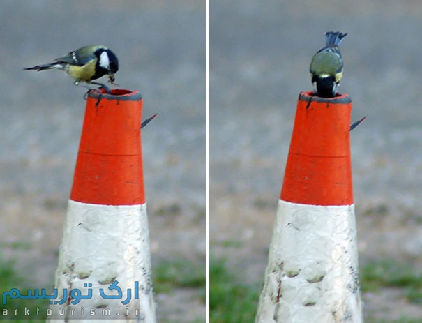 کبوتر (11)
