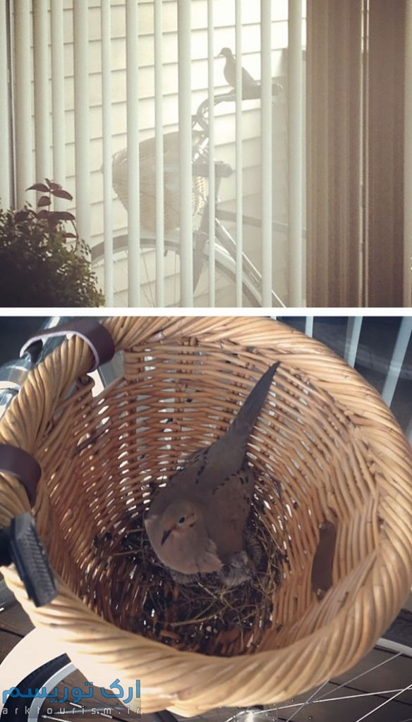 کبوتر (12)