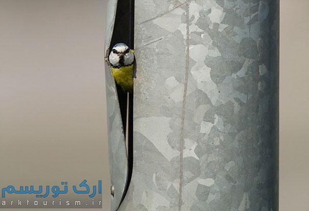 کبوتر (16)