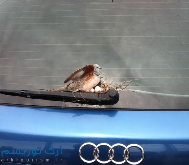 کبوتر (3)