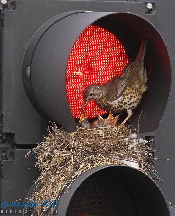 کبوتر (6)