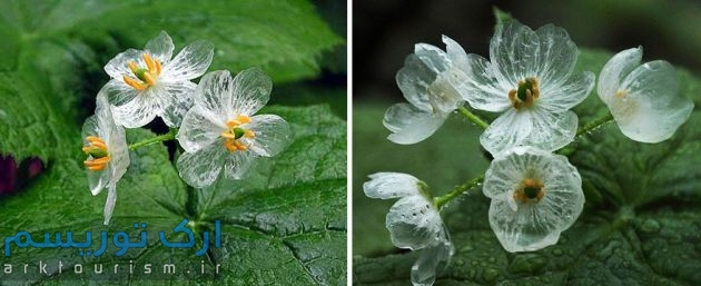 transparent-skeleton-flowers-in-rain-diphylleia-grayi-20