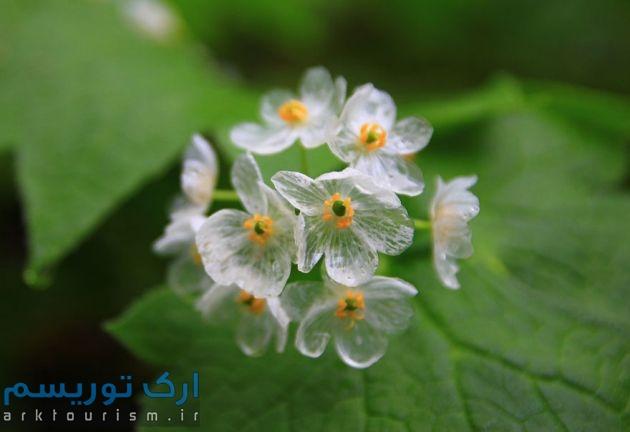 transparent-skeleton-flowers-in-rain-diphylleia-grayi-23